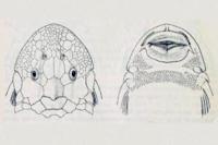 Hypostomus goyazensis