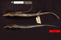 Aspredinichthys filamentosus, Syntype, lateral
