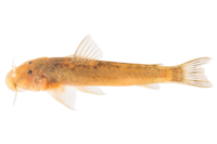 Astroblepus cachara, LBP 26712 topotype live, 4.23 mm SL