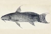 Astroblepus heterodon
