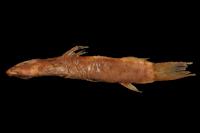 Cyclopium mindoense = Astroblepus mindoensis, Holotype