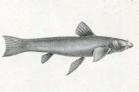 Astroblepus prenadillus, Weibchen