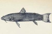 Astroblepus retropinnus - Type