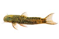 Astroblepus sp. aff. trifasciatus, specimen of Magdalena basin, 7.94 mm SL