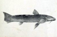 Astroblepus taczanowskii - Lateralansicht