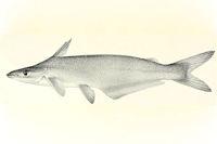 Ageneiosus guianensis = Ageneiosus dentatus