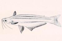 Auchenipterus ambyiacus