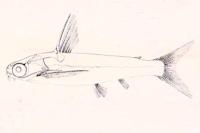 Centromochlus