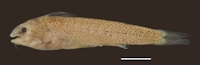 Gelanoglanis pan, MZUSP 114669, holotype, male, 24.7 mm SL; Brazil, Mato Grosso State, Itaúba, rio Teles Pires, tributary to upper rio Tapajós basin;