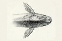 Bild 3: Pseudauchenipterus jequitinhonhae, holotype, dorsal