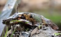 Parauchenipterus