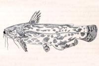 Trachelyopterus lacustris