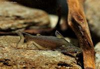 Ageneiosus cf. atronasus, Peru