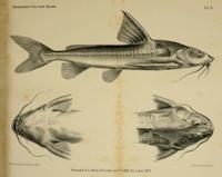 Bild 3: Centrodoras brachiatus (Rhinodoras amazonum)