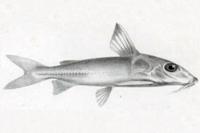 Hassar affinis