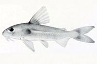 Trachydoras microstomus