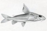Trachydoras nattereri - Type