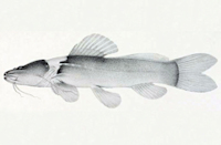 Brachyglanis phalacra