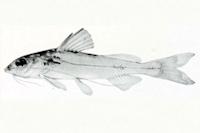Bild 3: Brachyrhamdia heteropleura - Type