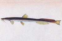 Chasmocranus surinamensis
