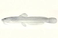 Heptapterus stewarti - Type