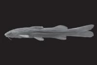 MBUCV-V-32675, 69.4 mm SL, Costa Rica, Puntarenas, río Peje, 13 km S of San Isidro General