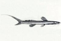 Imparfinis longicaudus - Lateralansicht