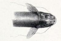 Bild 3: Imparfinis longicaudus