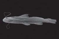 Imparfinis nemacheir, FMNH 58127, 105.0 mm SL, holotype