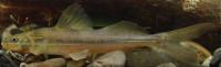 Imparfinis usmai, IMCN 3842, 73.6 mm SL, Colombia, Cauca, Caloto, río Japio