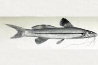 Pimelodella buckleyi - Type