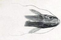 foto 3: Pimelodella buckleyi - Kopf