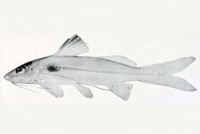 Pimelodella macturki