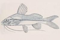Pimelodella mucosa