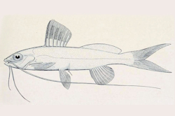 Pimelodella notomelas