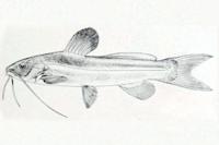 Pimelodella peruensis