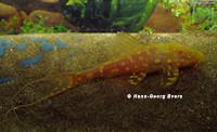 """Bild 5: Acanthicus cf. adonis """"albino"""""""