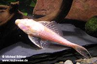 """Acanthicus cf. adonis """"albino"""""""
