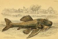 Bild 3: Acanthicus hystrix