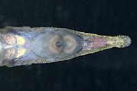 Bild 3: Acestridium discus