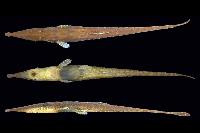 Acestridium triplax, MPEG 13355, holotype, 55.5 mm SL, female, Igarapé Mutum, Jurutí, Amazonas river Basin, Pará, Brazil