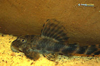 "Ancistomus sp. ""L 147"""