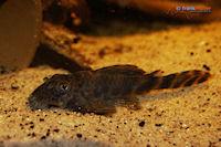 "Bild 3: Ancistomus sp./Peckoltia sp. ""L147"""
