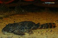 "Bild 4: Ancistomus sp./Peckoltia sp. ""L147"""