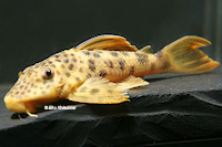 "Pic. 3: Ancistomus cf. feldbergae ""L 163"""