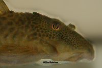 "Pic. 4: Ancistomus sp./Peckoltia sp. ""L 208"""