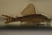 "Pic. 3: Ancistomus sp./Peckoltia sp. ""L 208"""
