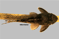 "Pic. 6: Ancistomus sp./Peckoltia sp. ""L 208"""