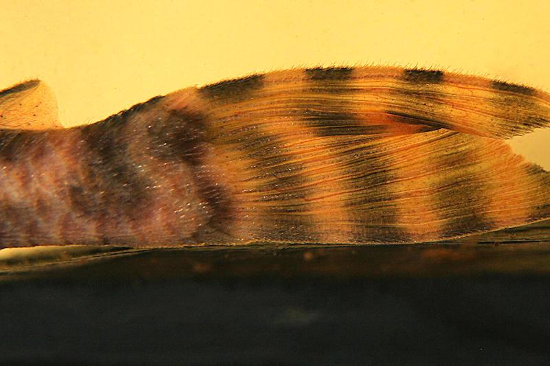 """Ancistomus sp. """"L 208"""", Weibchen"""