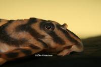 foto 5: Ancistomus wernekei/Peckoltia wernekei (L243 / LDA 86)